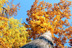 Autumn trees in the sky. Stock Photography