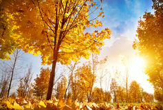 Autumn trees at sunset Royalty Free Stock Photography