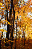 Autumn trees in sunset light Royalty Free Stock Images