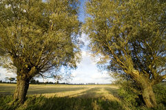 Autumn trees symmetry. Two weeping willow trees in a symmetry, late summer field in the background Stock Photos