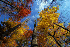 Autumn trees to the sky. Autumn trees in Maryland showing fall colors with a perspective towards the sky Stock Photo