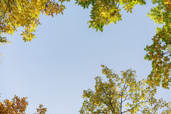 Autumn trees top from below on alley Royalty Free Stock Image