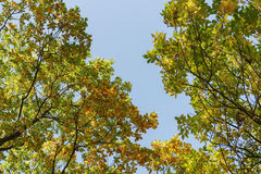 Autumn trees top from below on alley Stock Image