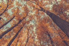 Autumn trees top. Top of the autumn trees in the forest. Vintage toned picture Royalty Free Stock Images