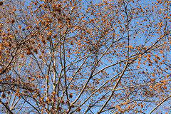 Autumn trees. Tree branches in autumn on a sunny day Royalty Free Stock Photo