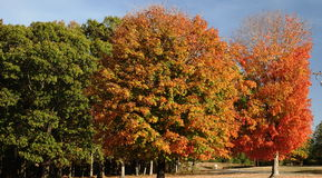 Autumn Trees turning colors Royalty Free Stock Photo