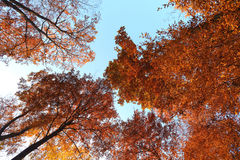 Autumn trees viewed from below Royalty Free Stock Photography