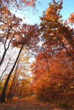 Autumn trees viewed from below Royalty Free Stock Photo