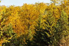 Autumn Trees vivo Fotografía de archivo libre de regalías