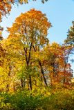 Autumn Trees y hojas en rayos de la luz del sol fotografía de archivo libre de regalías