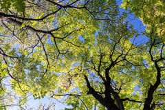Autumn trees with yellow foliage on blue sky background Royalty Free Stock Photography
