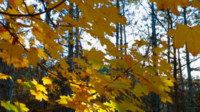 Autumn Trees In Yellow Leaves video d archivio
