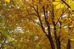 Autumn trees. With yellow leaves Royalty Free Stock Photography