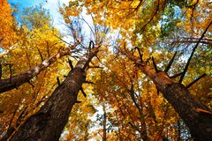 Autumn trees with yellow leaves against the blue sky. Bottom view. royalty free stock photo