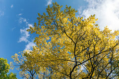 Autumn trees with yellow leaves against dark blue cloudy sky Stock Images