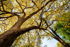 Autumn trees with yellow leaves in a forest or park. Background autumnal beautiful branch bright color colorful day dry environment fall flora foliage golden royalty free stock images