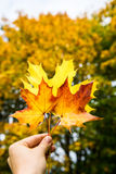 Autumn Trees with Yellow Leaves Stock Photography
