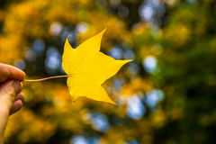 Autumn Trees with Yellow Leaves Royalty Free Stock Photos