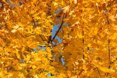 Autumn, trees  yellow leaves Stock Photos