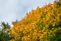 Autumn Trees with Yellow Leaves Royalty Free Stock Image