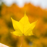 Autumn Trees with Yellow Leaves Royalty Free Stock Images