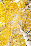 Autumn trees with yellowing leaves Stock Image