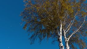 Autumn trees with yellowing leaves against the sky stock footage