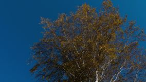 Autumn trees with yellowing leaves against the sky. Autumn tree tops - golden autumn trees tops against the sky stock footage