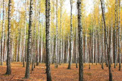 Autumn trees with yellowing leaves Royalty Free Stock Image