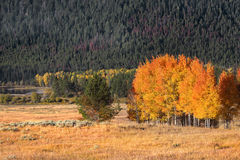 Autumn trees in Yellowstone Royalty Free Stock Photo