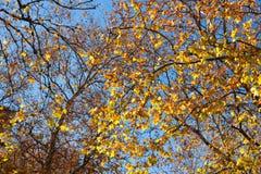Autumn treetop Stock Photo