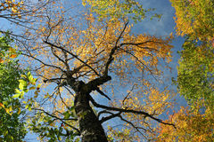 Autumn Treetops. Treetops changing color in New England Stock Photography
