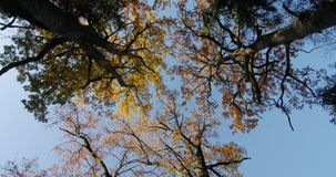 Autumn in the treetops. Bottom view, oaks stock footage