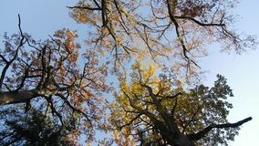 Autumn in the treetops. Bottom view, oaks stock video