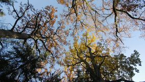 Autumn in the treetops. Bottom view, oaks stock video footage