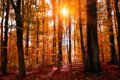 Autumn treetops in fall forest. Sky and sunlight through the autumn tree branches. Autumn background. Copy space. Soft focus royalty free stock photos