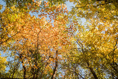 Autumn treetops. Royalty Free Stock Image