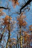 Autumn treetops Royalty Free Stock Image