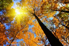 Autumn tress with sunlight. A beautiful view of autumn trees with sunlight Royalty Free Stock Photos