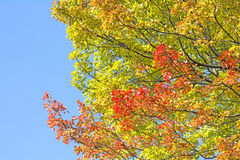 Autumn trident maple branches Royalty Free Stock Images