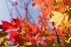 Autumn Trident maple leaf Royalty Free Stock Photo