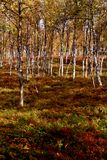 Autumn at Tromso forest. Nature of Norway stock photos