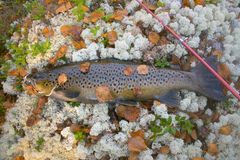 Autumn trout male in breeding color. Autumn trout. This male in breeding color was caught in spinning (rotating spinner) in Northern deep lake of tectonic origin stock photography