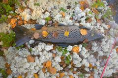 Autumn trout male in breeding color. Autumn trout. This male in breeding color was caught in spinning (rotating spinner) in Northern deep lake of tectonic origin royalty free stock images