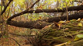 Trunks of fallen trees stock video footage