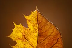 Autumn tulip poplar mixed with maple leaf on solid background. With back sunlight. Royalty Free Stock Image