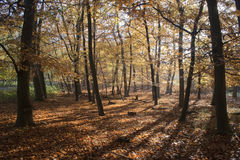 Autumn in Tunstall Forest, Suffolk, England Royalty Free Stock Photos