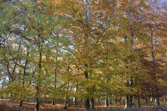 Autumn in Tunstall Forest, Suffolk, England Stock Photo
