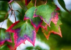 Autumn turning Sunset-Maple Leaves stock photography