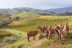 Autumn in Tuscany, Italy. Near San Gimignano royalty free stock image